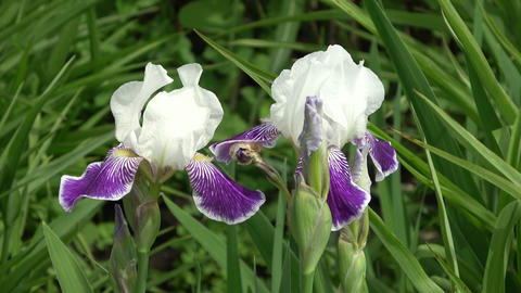 Purple Iris flowers blowing in the wind Live Action