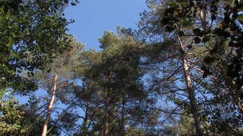 Pine forest, ship pines swaying in the wind Live Action