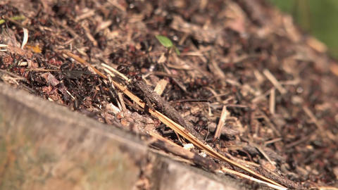 Anthill and ants, ant carrying a stick Footage