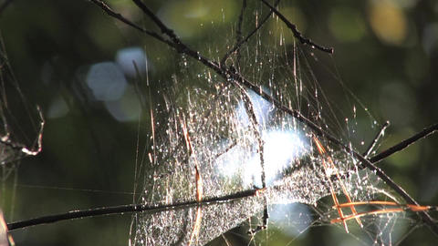 The cobweb hanging on branches in the woods Live Action