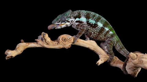 Panther Chameleon Shoots It's Tongue Out To Catch A Cricket Live Action