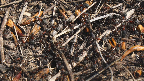 Red ants next to their nest in the ground Footage