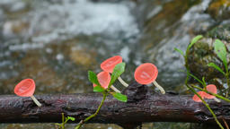 Pink Burn Cup or Fungi Cup mushroom near creeks Live Action