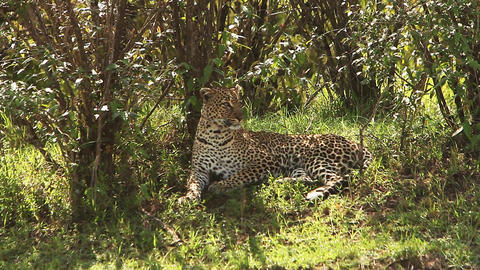 Leopard, panthera pardus, Adult laying on Grass, Grooming itself, Masai Mara Park in Kenya, Real ビデオ