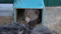 Woman's hand lures Kamchatka brown bear cub from improvised den (refuge) in zoo Footage