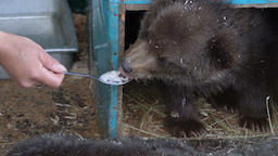 Women's hand feeds spoon with milk porridge Kamchatka brown bear cub Footage