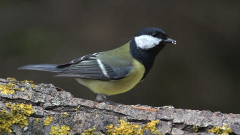 Great Tit, parus major, Adult with Seed in its Beak, Taking off from Branch, Normandy, Real Time Live Action