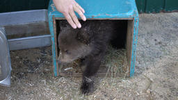 Woman's hand teases Kamchatka brown bear cub from improvised den (refuge) in zoo Footage
