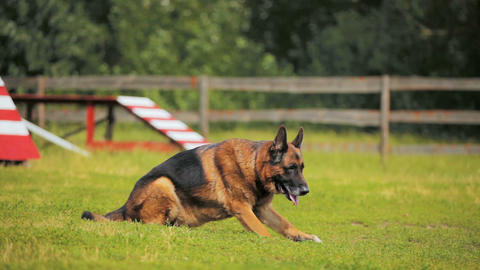 smart shepherd performs commands on grass field Live Action