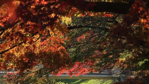 Autumn Leaves / Fall Colors / Bridge - Fix ビデオ