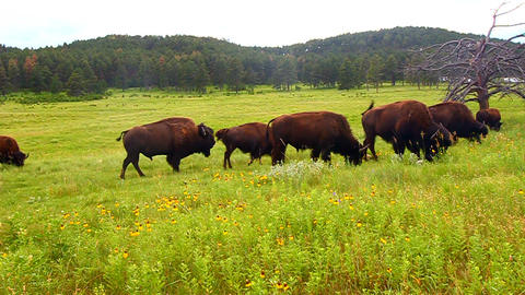 Bison at Custer State Park Live Action