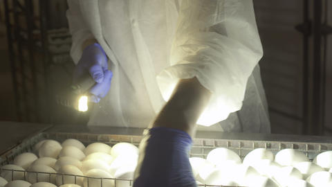 Worker check embryos inside eggs with egg-tester Footage
