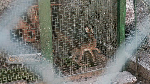 The hare runs in the cage of the botanical garden Footage