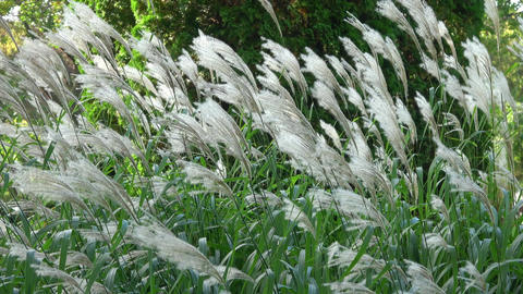 White feathery Pampas grass blowing in the wind Footage