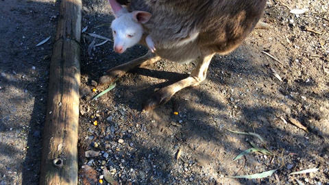White albino baby joey kangaroo in the pouch of a Australian Red Kangaroo Footage