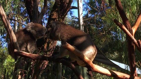 Two Australian koala eating leaves in a eucalyptus tree, handheld Footage