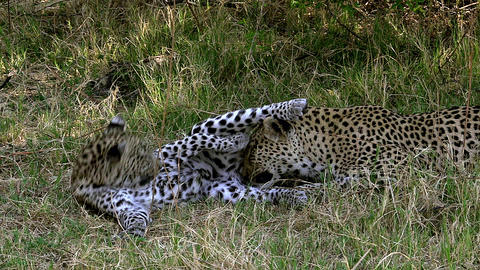 Leopard, panthera pardus, Mother Licking its Cub, Moremi Reserve, Okavango Delta in Botswana, Slow ビデオ