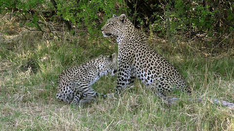 Leopard, panthera pardus, Mother with Cub, Moremi Reserve, Okavango Delta in Botswana, Slow Motion ビデオ