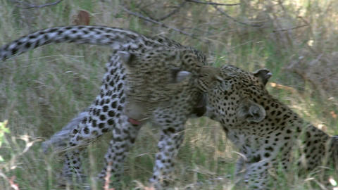 Leopard, panthera pardus, Mother Playing with Cub, Moremi Reserve, Okavango Delta in Botswana, Slow ビデオ