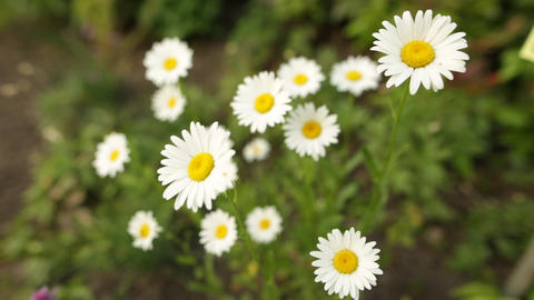 Chamomile flowers close up. Nature of summer, flower fields, wild flower meadow Live Action