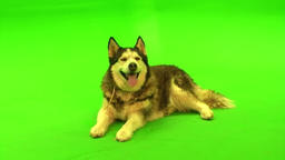 FREE HD video backgrounds Husky dog sitting lying on green screen Free RAW Footage