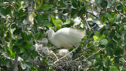 White Egret caring flapper in a nest on tree Live Action