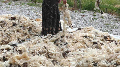 sheep wool, sheep wool for making beds and quilts, a woman cleans the sheep's Live Action