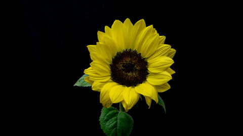 Flowering of sunflower Live Action