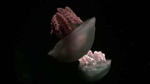 Deep sea jellyfish. 4K footage Footage