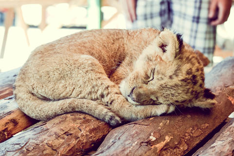 small cub sleeping Photo