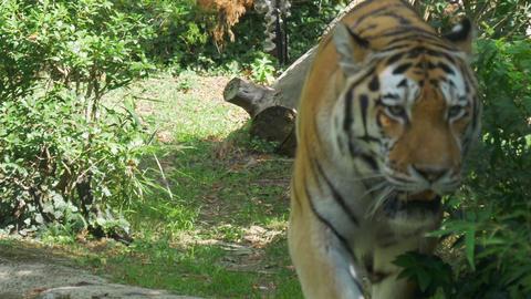 Siberian Tiger Jungle Footage