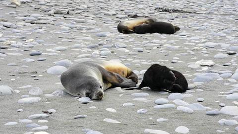 Antarctic fur seal pup close Live Action