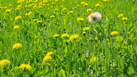 Yellow dandelions on green glade. Close up blooming dandelions on meadow Footage