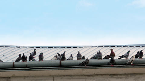pigeons on the roof 4k GIF