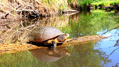 Blanding's Turtle Basking Illinois Footage