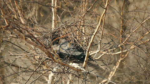 Crow Sitting In A Nest stock footage
