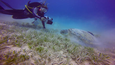 Underwater videographer, filming a large green turtle grazing on the seabed Live Action