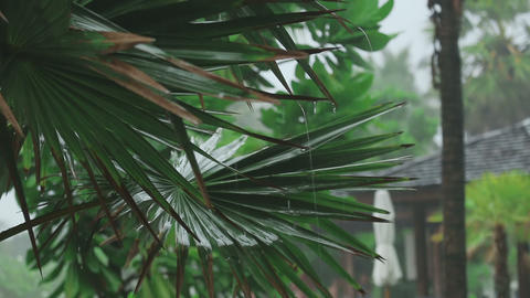 Palm at tropical downpour Footage