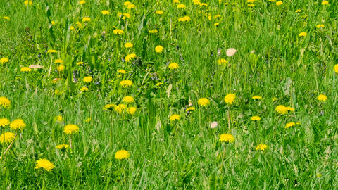Blooming yellow dandelions on green glade. Green spring field and wild flowers Footage