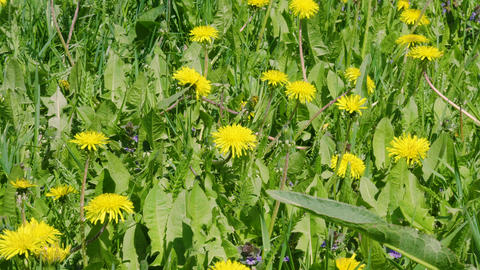 Yellow dandelion flowers and green grass on summer meadow Footage
