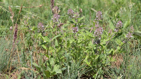 Flowering thyme flowers in the wind Stock Video Footage