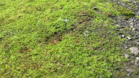 Panorama fresh green moss. Texture and background Footage