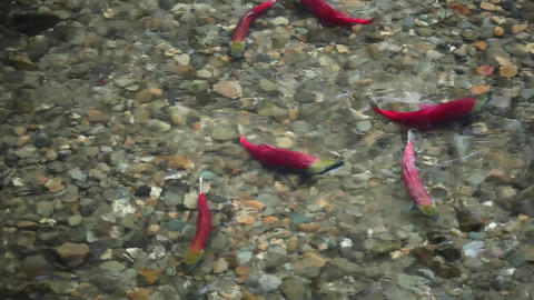 Colorful spawning Sockeye Salmon swimming in a river Live Action