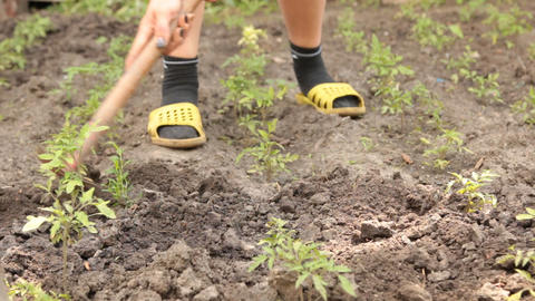 Woman hand with hoe works the soil in the vegetable garden, with tomato Footage