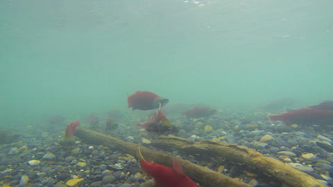Underwater view of colorful spawning Kokanee Salmon swimming in a river Live Action