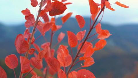 Autumn Red Leaves Stock Video Footage
