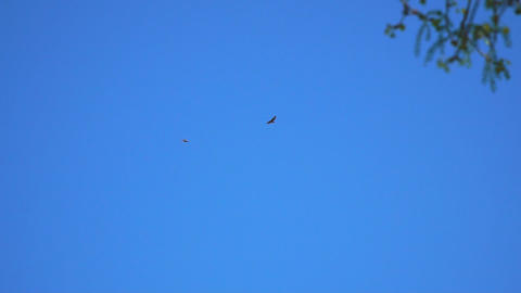Two birds of prey in blue sky Live Action
