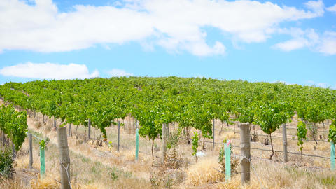 Rows of grapevines closeup, in the Barossa Valley, South Australia, handheld 영상물