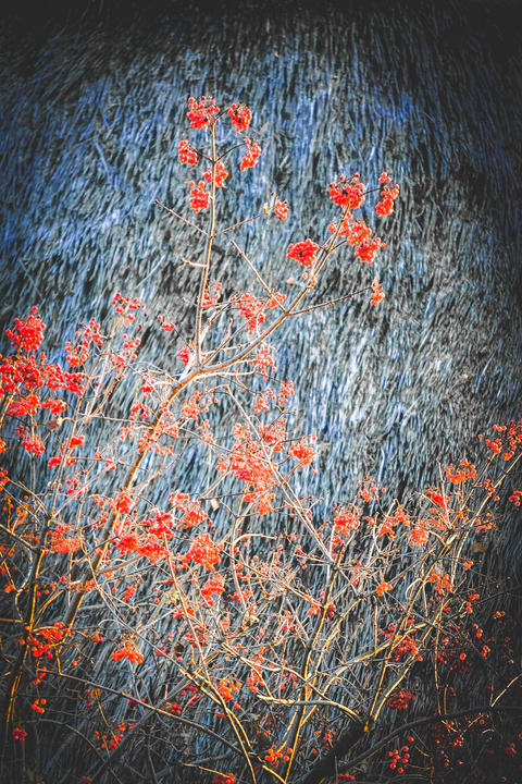 branches with red viburnum on a gray background フォト