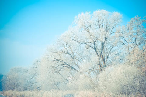 beautiful big trees in the snow against blue sky フォト